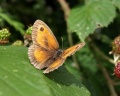 Pyronia tithonus (mâle)
