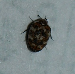 Anthrenus sp.
