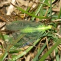 Chrysoperla sp.