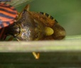 Carpocoris purpurpenis